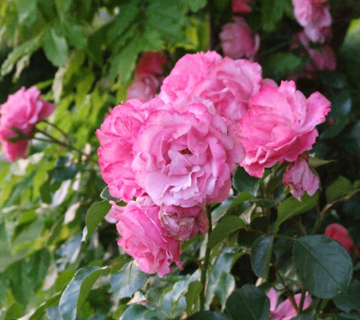 roses - baracchi