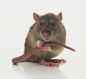 rat-alone scientopia.org