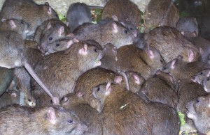 Rats-Caitlin-Mitchell lipstiq.org