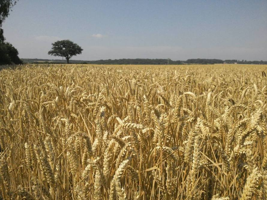 Wheat ripe for harvest