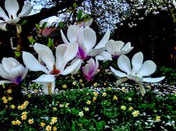 garden magnolia