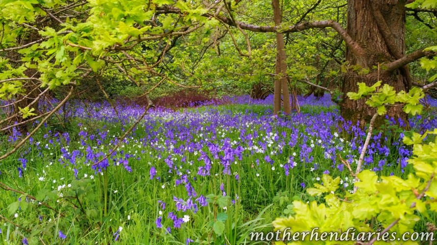 bluebell wood 1